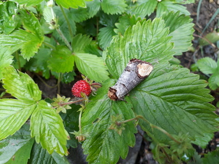 Erdbeere mit ? - Walderdbeere, Erdbeere, Nachtfalter, Mondvogel, Tarnung, Mimese