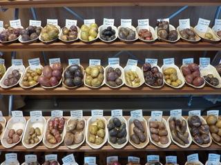 Kartoffelvielfalt - Kartoffel, Speise, Knolle, Ernte, frisch, Schale, Stärke, hellbraun, eiförmig, groß, klein, Garten, Anbau, Grundnahrungsmittel, Erdapfel, Speisekartoffel, Nahrungsmittel, Beilage