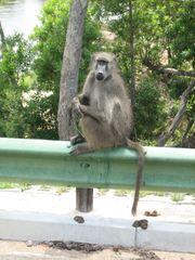 Pavian - Pavian, Afrika, Affe, Tiergarten, Artenschutz, gefährdete Art