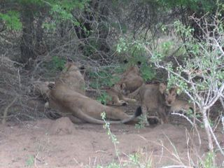 Löwenfamilie - Löwe, Afrika, Jungtier, Raubtier, Raubkatze