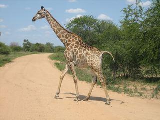 Giraffe - Giraffe, Afrika, Wildtier, Pflanzenfresser, Paarhufer, Wiederkäuer, Tarnung, Camouflage