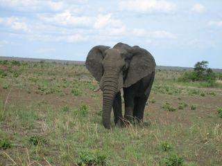 Elefant - Elefant, Afrika, Dickhäuter, schwer, Rüssel, grau, Stoßzahn, Elfenbein, runzlig, Runzel, Falte, faltig, stark
