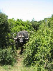 Büffel - Büffel, Afrika, Safari