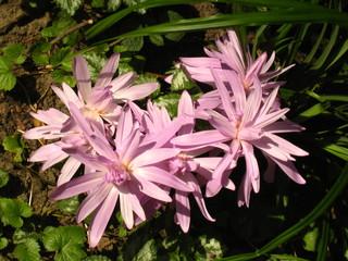 Herbstzeitlose - Blume, Zwiebelgewächs, Autumnale, giftig, rosa, Giftpflanze, Colchicin, Heilpflanze