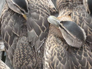 Junge Stockenten - Ente, Stockente, Jungtier, Gefieder, Feder, Vogel, Struktur