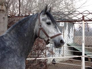 Lippizaner - Pferd, Lippizaner