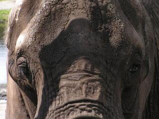 Elefant - Elefant, Afrika, Dickhäuter, Rüssel, Stoßzahn, Elfenbein, runzlig, Runzel, Falte, faltig, stark, grau, schwer, Schatten, Struktur