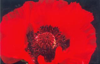 Mohnblüte - Blume, Mohn, Blüte, rot, Kontrast, Staubgefäß, Pollen