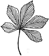 Kastanienblatt - Kastanie, Rosskastanie, Blatt, Laubblatt, gefingert, Laubbaum, Anlaut K