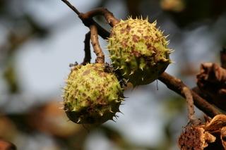 Früchte einer Rosskastanie - Frucht, Herbst, Kastanie, Rosskastanie, gefingert, Schale, stachelig, Heilpflanze, glatt, glänzend, braun, grün, Fruchtschale, Futterpflanze, Futter, basteln, Samen, Laubbaum