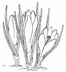 Krokus - Krokus, Frühblüher, Frühling, Schnee