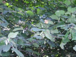 Haselnuss-Strauch - Strauch mit Haselnüssen, Verbreitung von Früchten und Samen