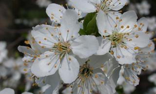 Kirschblüte(n) - Obstbäume, Natur, Garten, Blüten, Kirsche, unterständig, Staubgefäß
