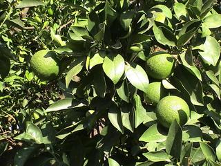 Zitrone - Pflanze, Nutzpflanze, Zierpflanze, Zitrone, Nahrungsmittel, Mittelmeerraum, Zitruspflanze, grün, Kunst