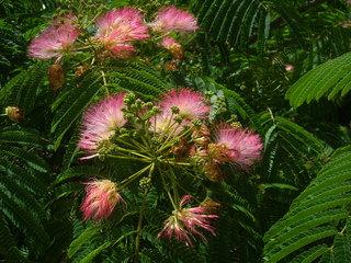 Akazie - Akazie, Robinie, Blüte, Griechenland, rosa, pink