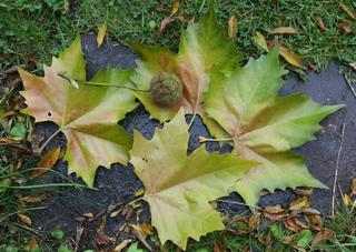 Platane_Fruchtkapsel - Platanengewächse, ahornblättrig, Platane, Kugel, Laubbaum, Blatt, Frucht