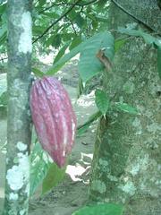 Kakaofrucht  - Kakao, Frucht, Stamm, exotisch, Schokolade, Kakaobaum
