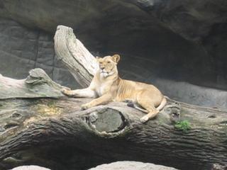 majestätische Löwin liegt auf Baum - Löwin, liegen, Löwe, Zoo, Gehege, Tierpark, Raubkatze