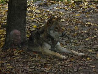 Wolf - Tierpark, Wolf, Raubtier, wild, Der Wolf und die 7 Geißlein, Rotkäppchen und der Wolf, Herbst, Laub