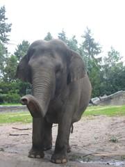 indischer Elefant - Elefant, indisch, Indien, Rüssel, Rüsseltier, Säugetier, Landsäugetier, Dickhäuter, schwer, grau, Elfenbein, stark, Schreibanlass