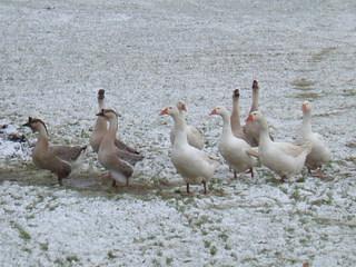 Gänse im Schnee - Gans, Graugans, Hausgans, Gänseschar, Schar, Schnee, Winter, laufen, Zugvogel