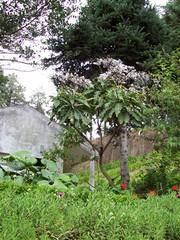 Löwenzahnähnlicher Pflanze auf Madeira 2 - Löwenzahn, Pflanze, Strauch, Stamm, Gänsedistel