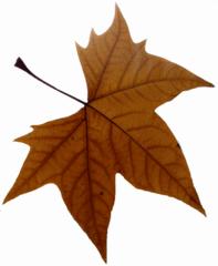 Ahornblatt - Blatt, Herbst, Fensterdekoration, Ahorn, Farbe, gezackt, Blattadern, Laubbaum