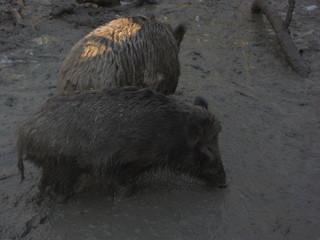 Wildschwein - Natur, Tier, Wildtier, einheimisch, Wildschwein