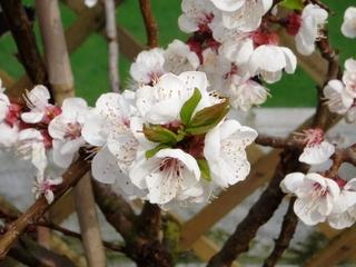 Apfelblüte - Garten, Frühjahr, Baum, Obst, Apfel, Apfelbaum, Blüte