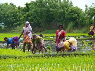 Reisanbau - Reis, Reisanbau, Indien, Landwirtschaft, Ernährung, Anbau, Asien, Erdkunde, Geografie, Stecklinge, Nassreisparzellen