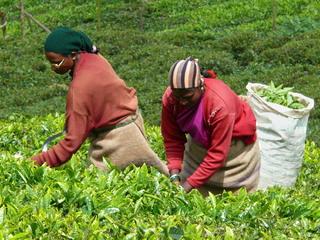Teepflückerinnen - Tee, Teepflückerinnen, Indien, Hochland, Ooty, Tamil Nadu, Landwirtschaft, Erdkunde, Biologie