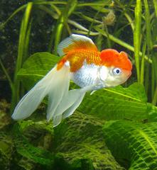 Schleierschwanz - Schleierschwanz, Goldfisch, Zierfisch, Fisch, schwimmen, Aquarium