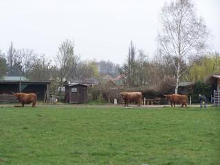 Rinderweide - Rinder, Rind, Weide
