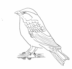 Sperling - Zeichnung - Sperling, Haussperling, Spatz, Singvogel, Vogel, fliegen, picken, singen, frech, hüpfen, Schnabel, Auge, Federn, Anlaut V, Anlaut Sp, Wörter mit tz