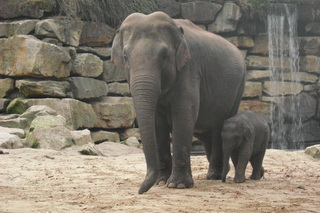 Elefantenkuh mit Kalb - Elefant, Elefantenbaby, Zoo, Jungtier, Dickhäuter, schwer, Rüssel, grau, runzlig, Runzel, Falte, faltig, stark, Gehege
