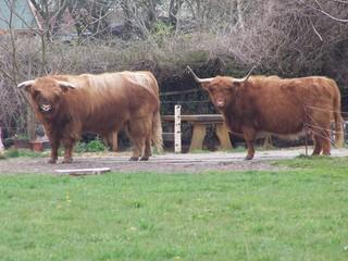 Rinder - Rinder, Rind, Highlandrind, Weide
