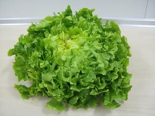 Endiviensalat - Endiviensalat, Wintersalat, Blattsalat, Salat, Bitterstoffe, bitter, grün