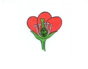 Zeichnung Blütenquerschnitt - Blütenorgane, Blüte, Blütenboden, Kelchblätter, Staubblätter, Fruchtblätter