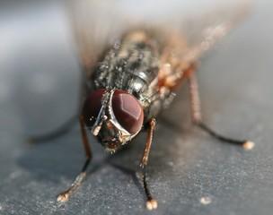 Makroaufnahme Stubenfliege - Komplexauge, Stubenfliege, Insekt, Fliege