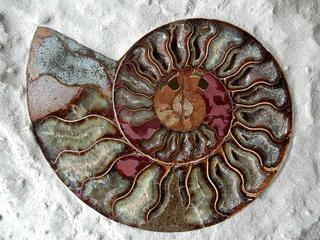 Ammonit - Ammonit, Versteinerung, Kopffüßer
