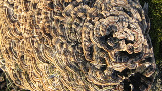 Baumpilz - Baumpilz, Pilze, Baum, Umwelt, Schmarotzer, Lebensraum, Natur, Brauntöne, braun, Struktur