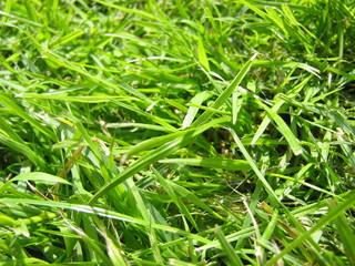 Gras - Gras, grün, Rasen, Sommer, Grüntöne, Halme, einkeimblättrig, Struktur