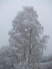 Birke mit Raureif - Birke, Baum, Winter, Winterlandschaft, Raureif, Eis, weiß, fest, Resublimation, Luftfeuchtigkeit, nadelförmig, Eiskristall, bizarr, Wetter, Kristall, Niederschlag, Nebel