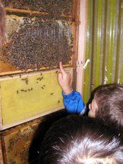 Bienen: Schaukasten - Schulkinder, Biene, Zoo, Königin, Sachunterricht, Wabe, Brutraum, Bienenwabe, Bienenvolk, Schaukasten, Unterrichtsgang, Bienenstock