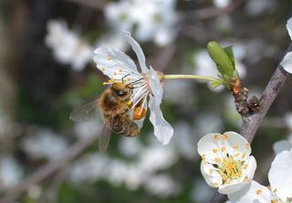 Bienchen auf Blüte - Biene, Blüte, Frühling, Baumblüte, Kischblüte, Hautflügler, Nektar