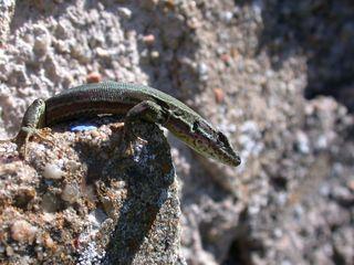 Eidechse - Eidechse, Reptilien, Echsen, Lacerta, Lacertidae, Schuppenkriechtiere