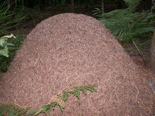 Ameisenhaufen - immens groß - Ameisen, Ameisenhaufen, Ameise, Gewimmel, fleißig, klein, emsig, viele, schleppen, krabbeln, Wald