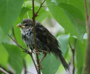 Jungvogel - kleiner Vogel, junger Vogel, Vogel, Jungvogel, jung, Nestling, flügge, Schreibanlass, Jungtier