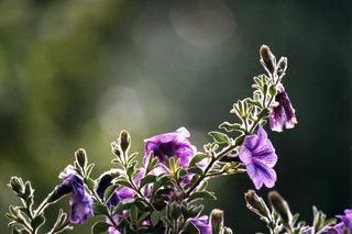Petunie - Petunie, Gegenlicht, violett, unscharf, Knospen, Blüten, Blätter