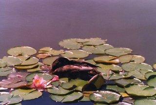 Teichrose mit schlafender Ente - Wasser, Teich, Ente, schlafen, Wasserrose, Seerose